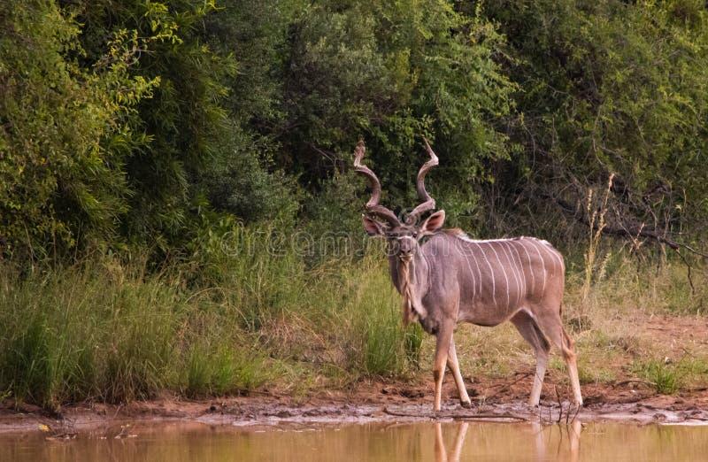 Toro di Kudu alla diga fotografia stock