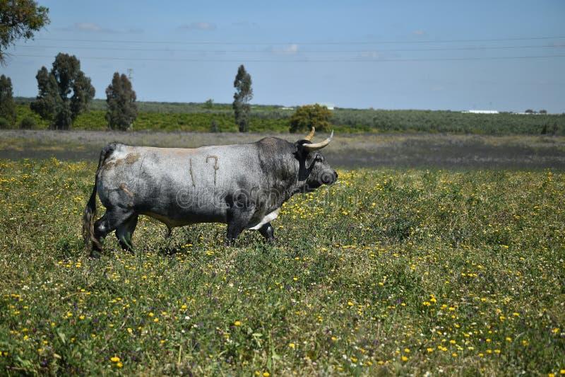 Toro grande en el campo verde foto de archivo