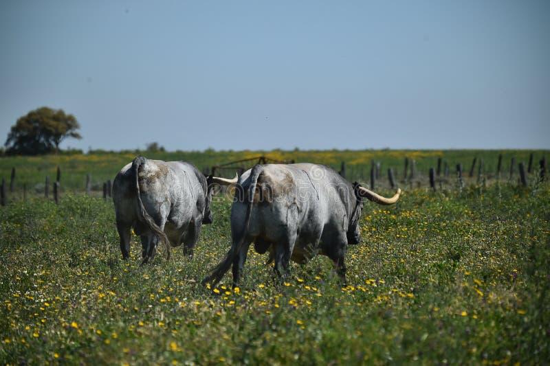 Toro grande en el campo verde fotografía de archivo