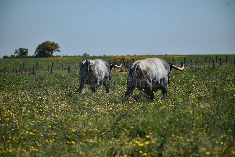 Toro grande en el campo verde fotografía de archivo libre de regalías
