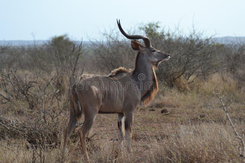 Toro joven del kudu fotografía de archivo