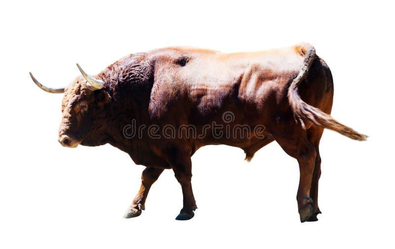 Toro marrone adulto, isolato sopra bianco fotografia stock libera da diritti