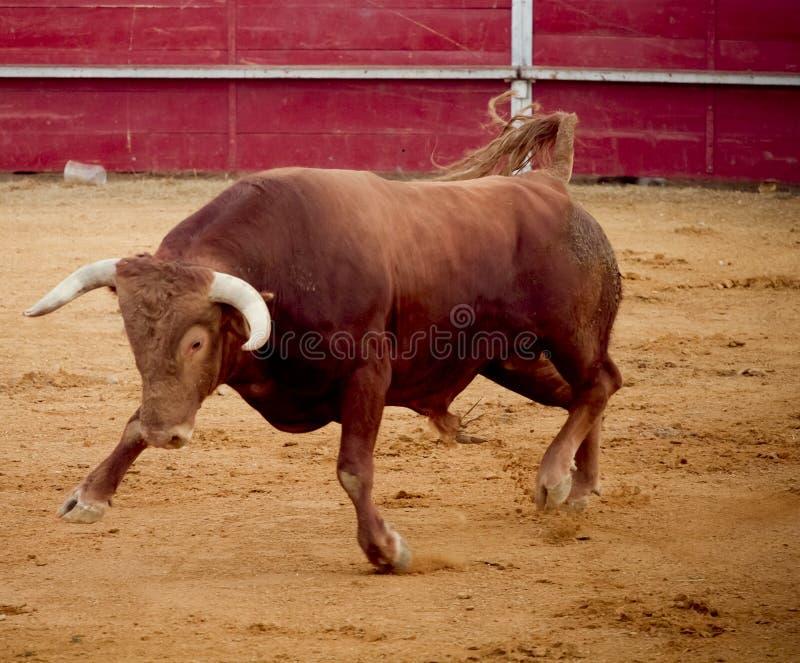 Toro marrone coraggioso e pericoloso nel bullring fotografie stock libere da diritti