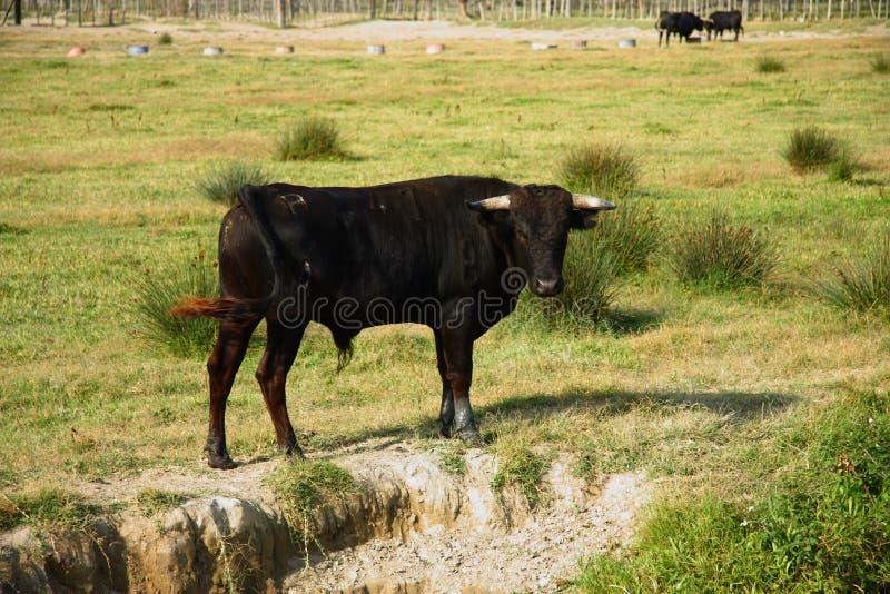 Toro negro en el Camargue Francia fotografía de archivo libre de regalías