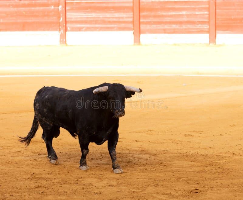 Toro negro en una plaza de toros fotos de archivo libres de regalías