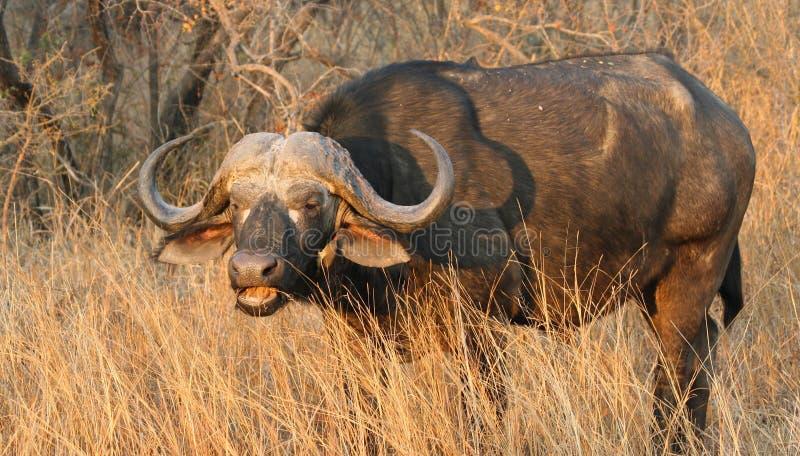 Toro nel Sudafrica immagine stock