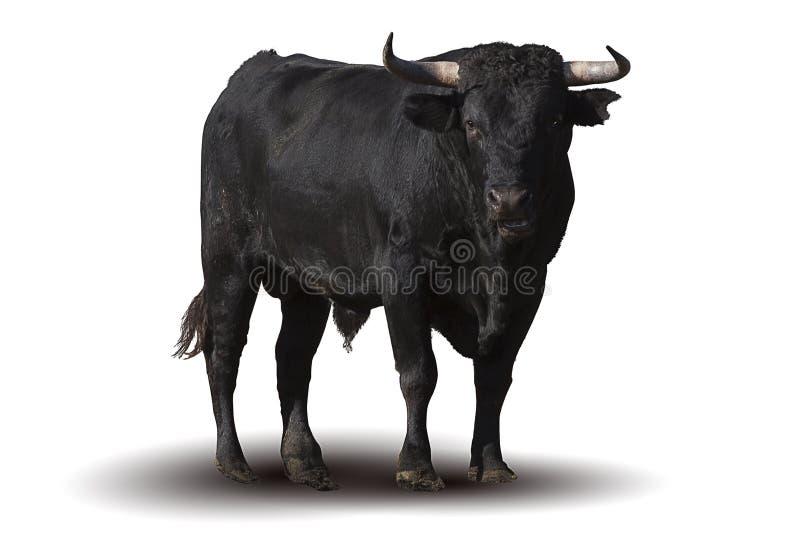 Toro nero spagnolo immagini stock libere da diritti