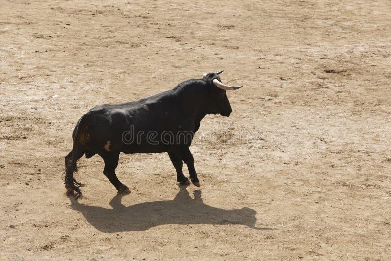 Toro que lucha en la arena bullring Bravo de Toro españa fotos de archivo