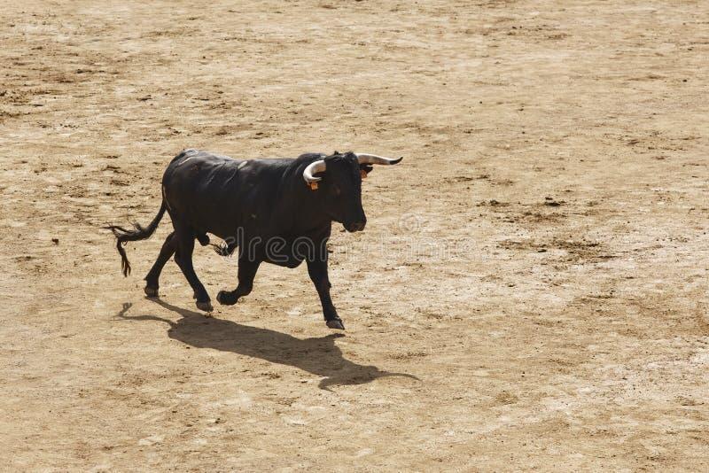 Toro que lucha en la arena bullring Bravo de Toro españa imágenes de archivo libres de regalías