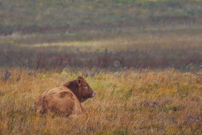 Toro rosso dell'altopiano scozzese nel prato immagini stock libere da diritti