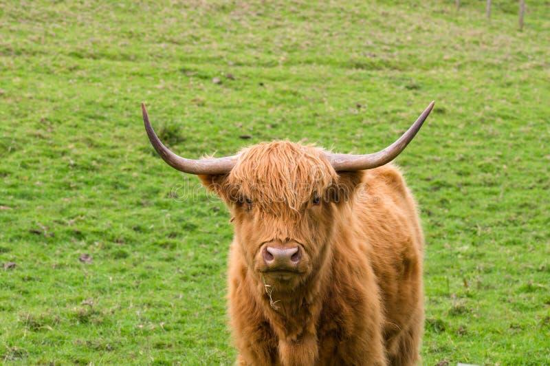 Toro scozzese dell'altopiano fotografia stock libera da diritti