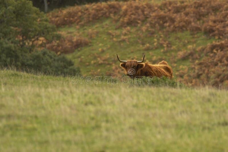 Toro scozzese della mucca dell'altopiano nel campo immagini stock