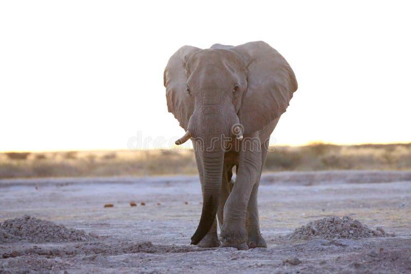 Toro solo dell'elefante immagini stock libere da diritti
