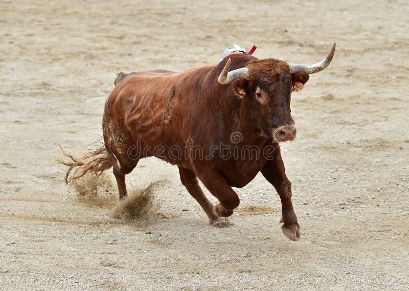 Toro spagnolo fotografia stock