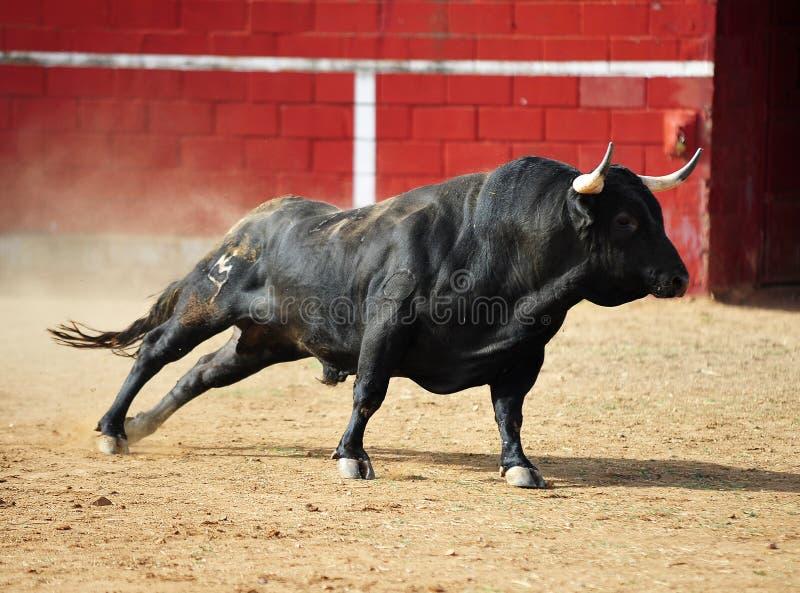Toro spagnolo fotografia stock libera da diritti