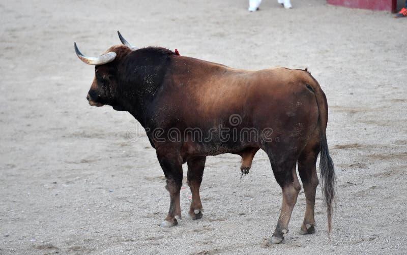 Toro spagnolo in arena sulla spagna immagini stock libere da diritti