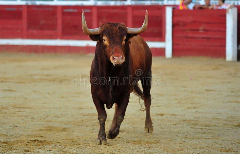 Toro spagnolo in arena sulla spagna fotografia stock libera da diritti