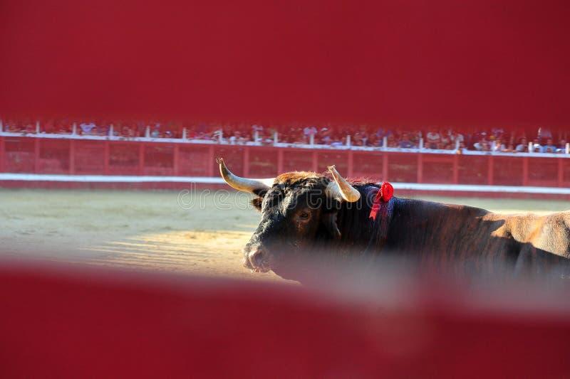 Toro spagnolo in arena sulla spagna fotografia stock