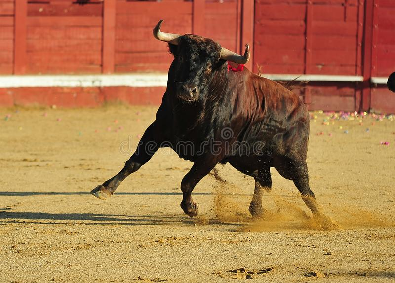 Toro spagnolo in arena sulla spagna immagine stock