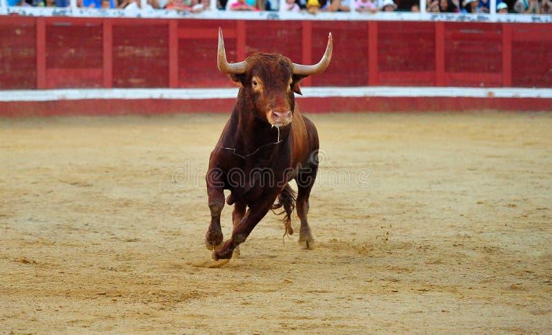 Toro spagnolo in arena sulla spagna immagine stock libera da diritti