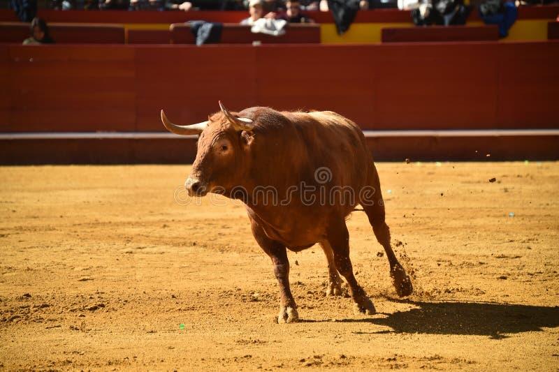 Toro valiente en la plaza de toros con los cuernos grandes foto de archivo libre de regalías