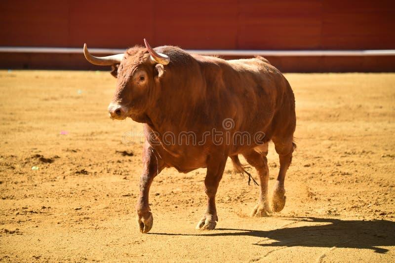 Toro valiente en la plaza de toros con los cuernos grandes fotografía de archivo