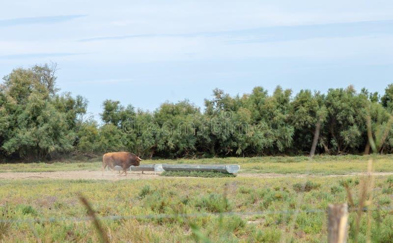 Toro wild genaturaliseerd Park frankrijk Dier stock afbeelding