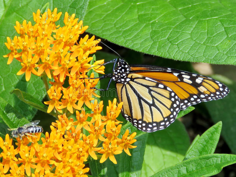 Toronto High Park Monarch Butterfly and bee on a flower 2017 stock images