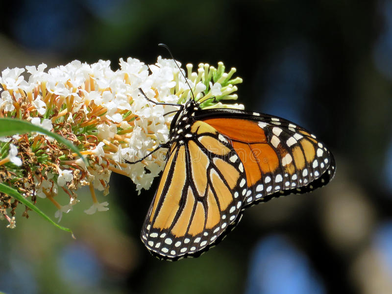 Toronto High Park Monarch on a white flower 2017 stock images