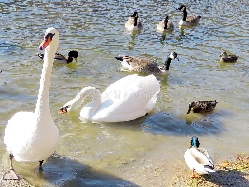 Toronto High Park swans, ducks and geese 2017. Swans, on a pond in High Park of Toronto, Canada, November 28, 2017 royalty free stock photo