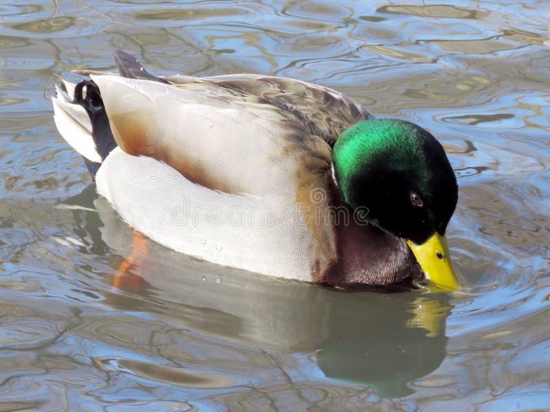 Download Toronto High Park Winter Duck 2017 Stock Photo - Image: 83720779