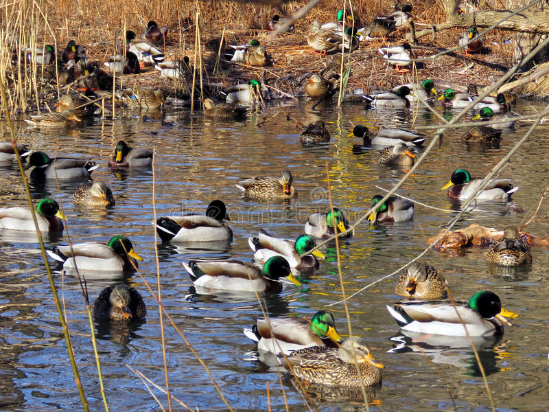 Download Toronto High Park Winter Ducks 2017 Stock Image - Image: 83721075