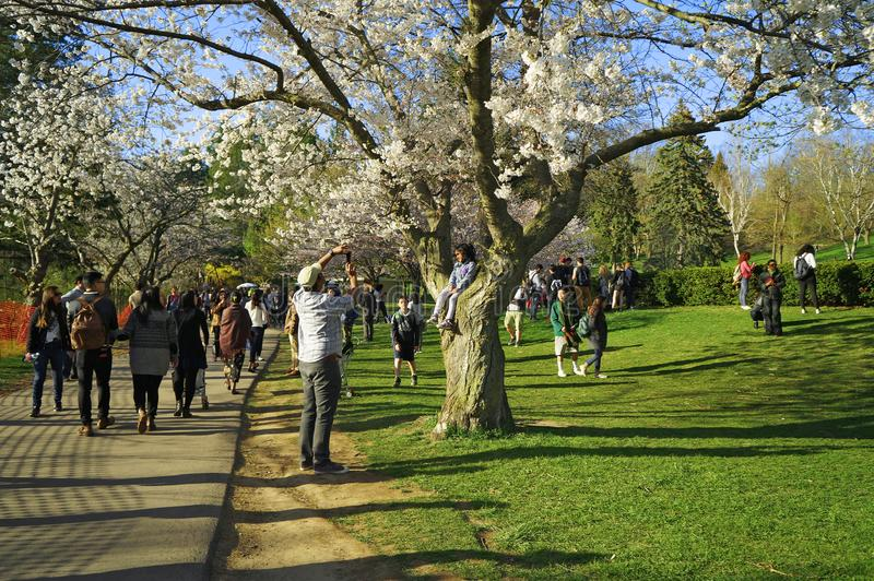 Toronto, Kanada - 05 09 2018: Wysoki Parkowy Toronto przyciąga wiele gości w wiośnie podziwiać pięknej Sakura wiśni obraz stock