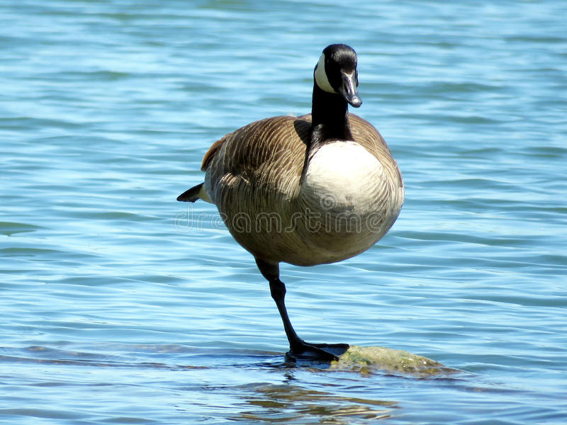Toronto Lake Canada Goose standing on one leg 2017 stock photo