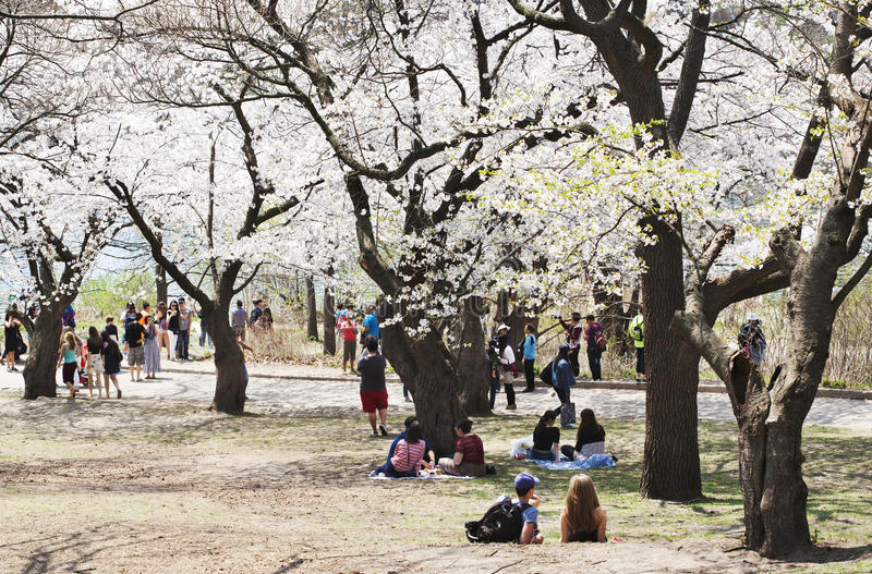 TORONTO - Spring cherry blossoms in High Park on May, 8, 2015. The Sakura trees blossoms are a major tourist attraction and attract thousands of visitors every royalty free stock photo