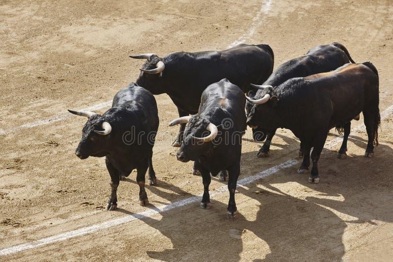Toros que luchan en la arena bullring Bravo de Toro españa foto de archivo libre de regalías