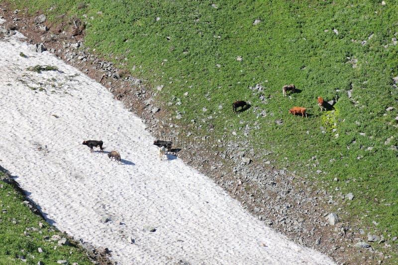 Toros que pastan en prado alpino cerca de avalanchas de la nieve foto de archivo