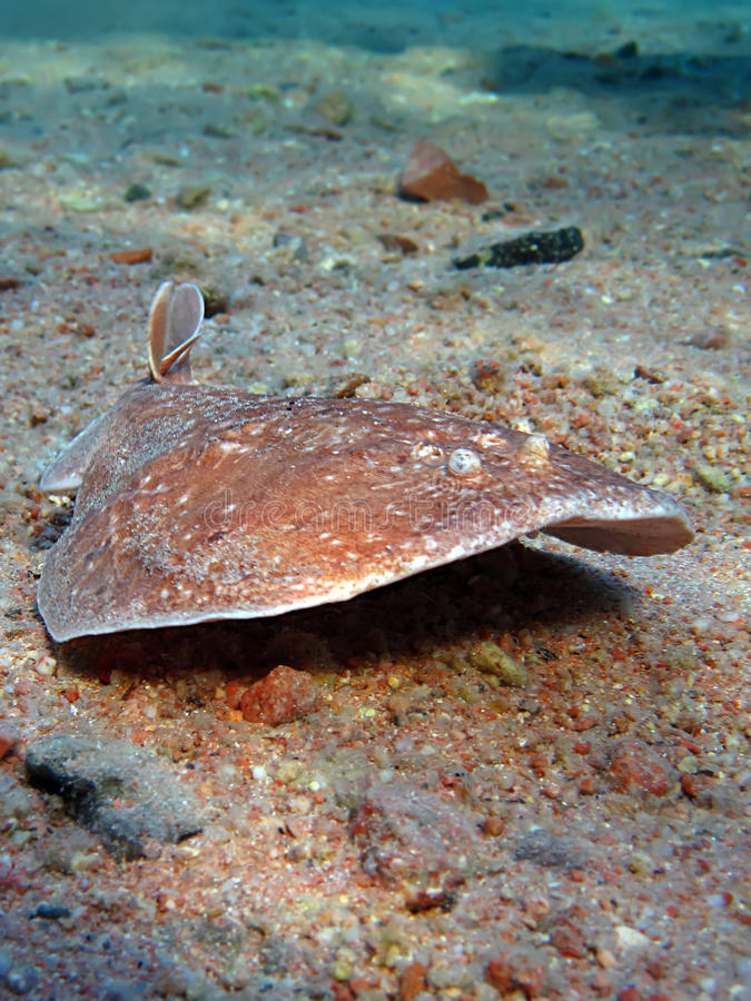 Download Torpedo ray stock image. Image of tropical, underwater - 11102911