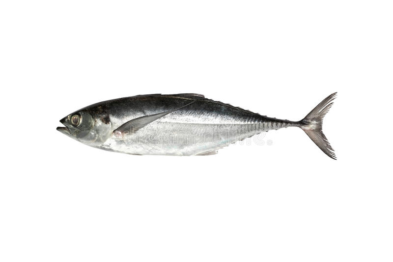 Torpedo scad (Finny scad, Finletted mackerel scad) isolated on. White background stock photos