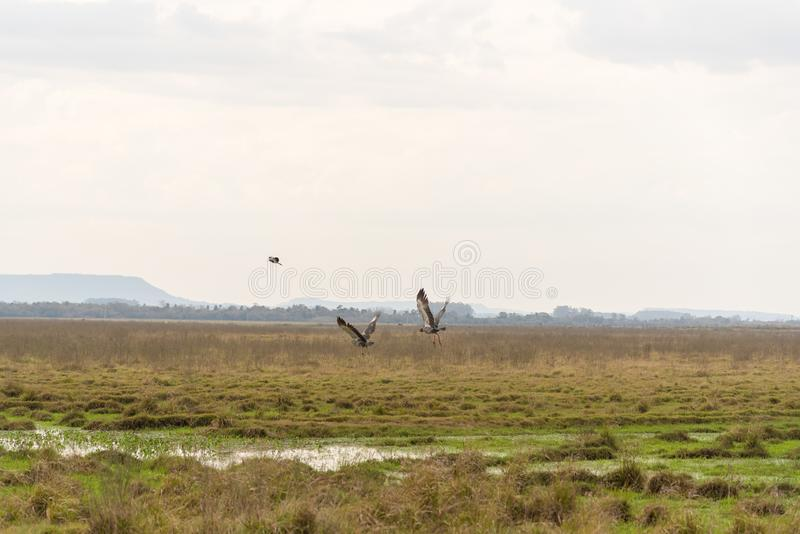 Torquatus Khaunos δύο πουλιών που αρχίζει την πτήση 02 στοκ εικόνες