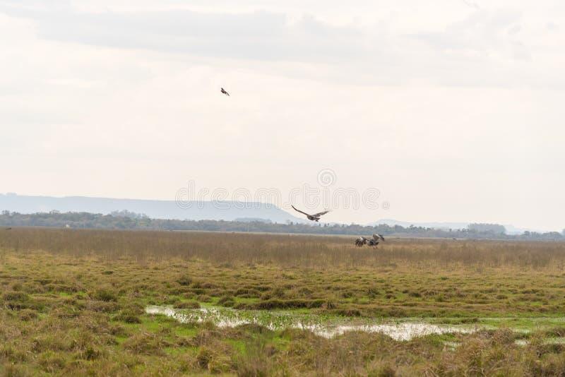 Torquatus Khaunos δύο πουλιών που αρχίζει την πτήση 03 στοκ εικόνες με δικαίωμα ελεύθερης χρήσης