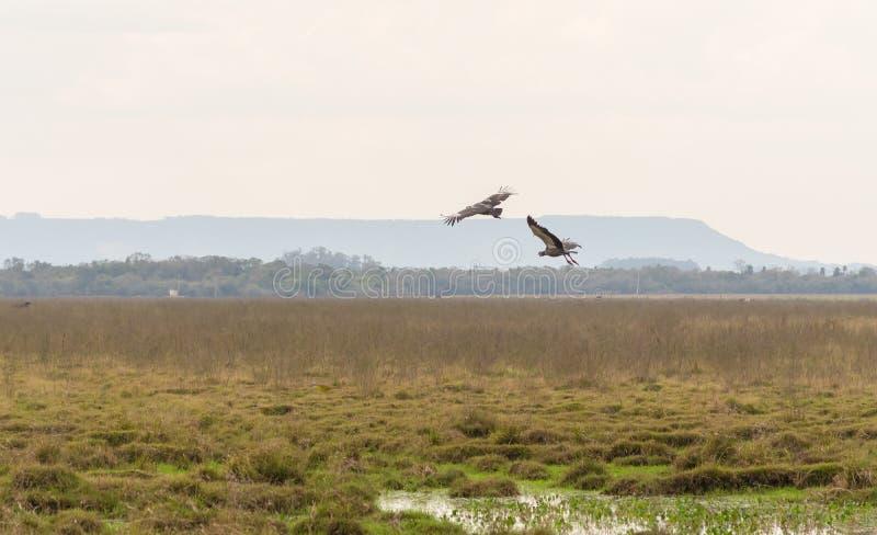 Torquatus Khaunos δύο πουλιών που αρχίζει την πτήση 04 στοκ φωτογραφία