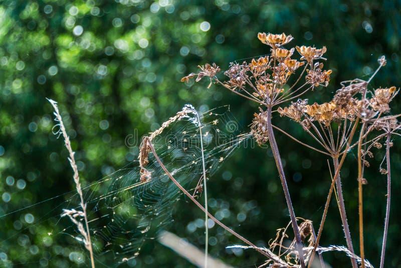 Torr bakgrund för natur för rengöringsduk för blomma och för spindel för kopersilja royaltyfri foto
