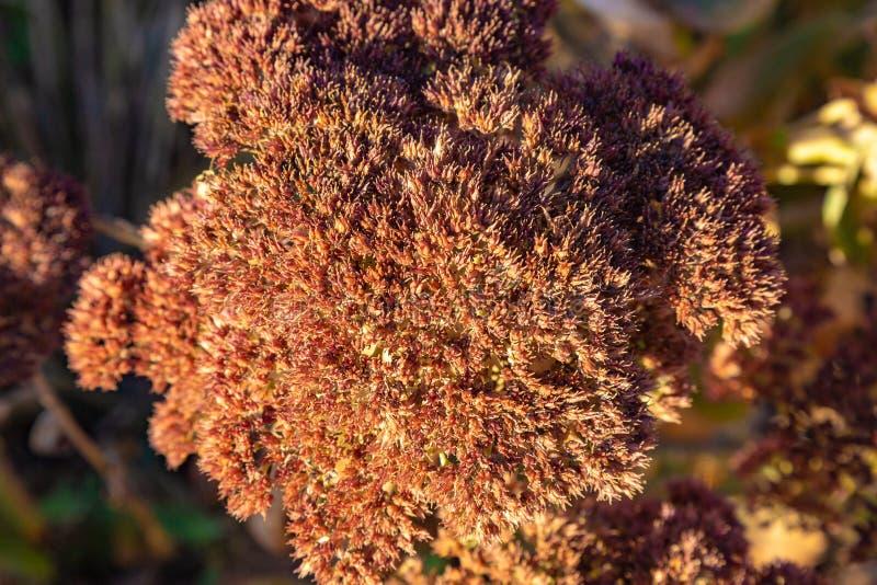 Torr brun växt för sedumväxtfetknopp som sett i den heliga familjrelikskrin Gretna Nebraska arkivbilder