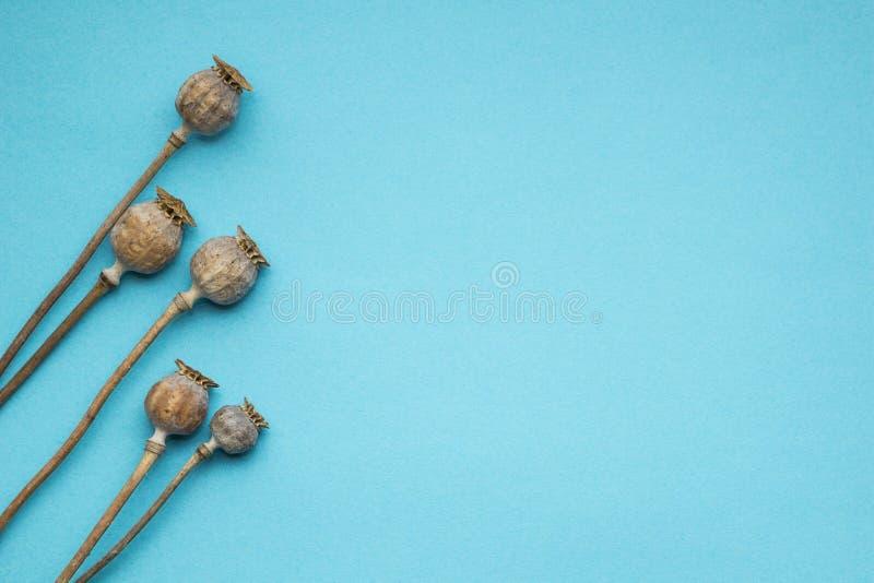 Torr brun vallmo på en blå bakgrund, fritt utrymme royaltyfri fotografi
