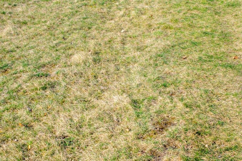 Torr gräsmatta med gröna tofsar av gräs fotografering för bildbyråer