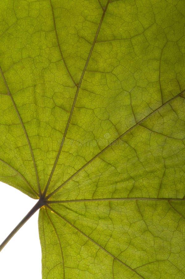 torr grön lönn royaltyfri foto