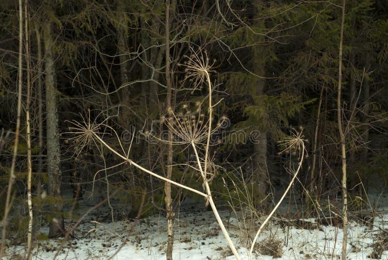 Torr Heracleumörtinflorescence mot en skogbusksnår royaltyfria foton
