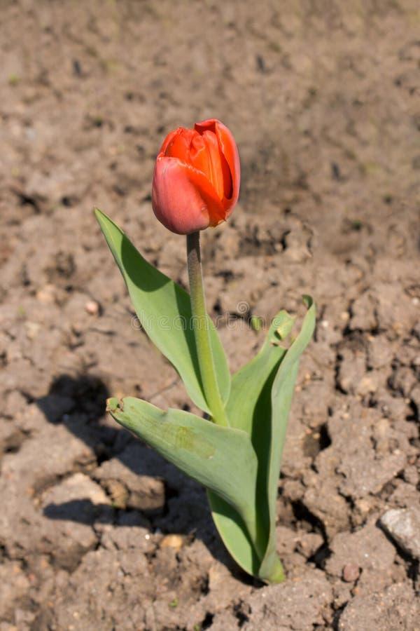 torr jordning som växer den ensliga tulpan royaltyfri foto