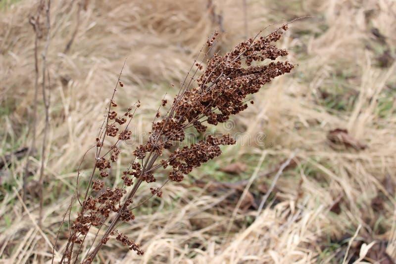 Torr kvist av gräs royaltyfri foto